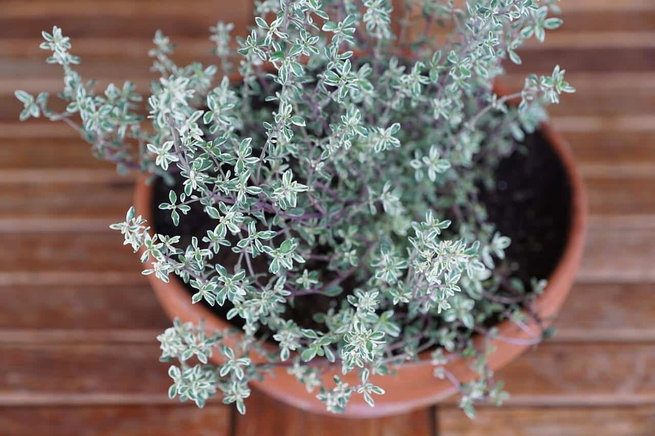 Thyme: A Truly Timeless Ancient Herb