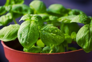 Basil: The King of Herbs