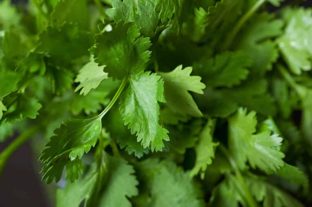 Cilantro: An Ancient and Versatile Herb