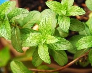 Mint: A Healing Burst of Cool Flavor