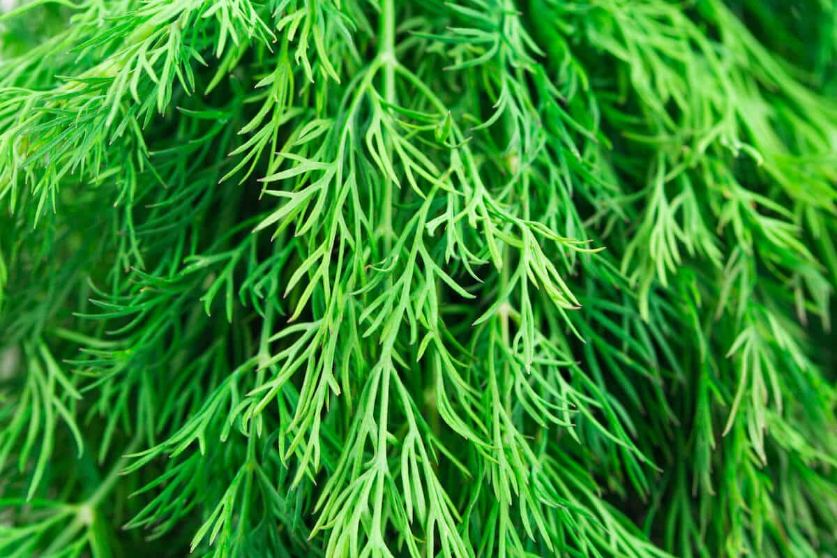 What's A Good Dill Substitute?