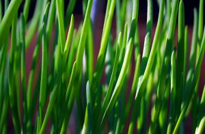 Chives Vs. Green Onions: SPICEography Showdown