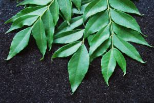 Curry Leaves: A Truly Indian Spice