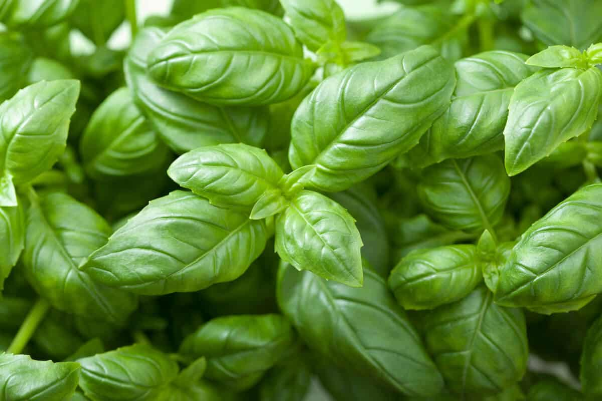 Bay Leaves Vs. Basil