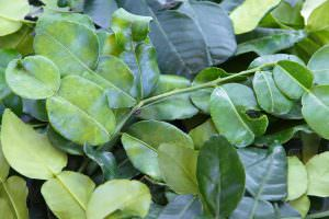 Kaffir Lime Leaves: A Controversial Name For A Flavorful Herb