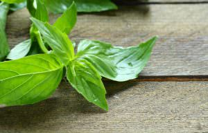 Lemon Basil: The Herb With Citrus Flavors