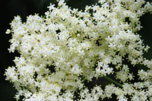 Elderflower: The Oldest Cultivated Herb