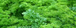 What's A Good Parsley Substitute?