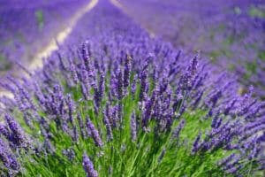 Lavender: A Fragrant Flower And A Tasty Herb