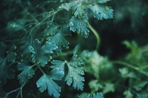 Lovage: A Mediterranean Tradition