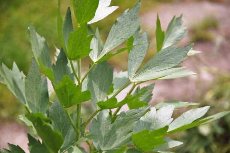 Lovage Substitute