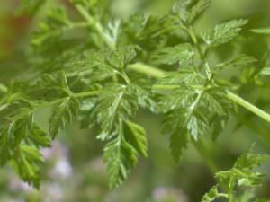 What's A Good Chervil Substitute?