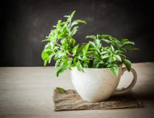 Holy Basil: The Sacred Herb