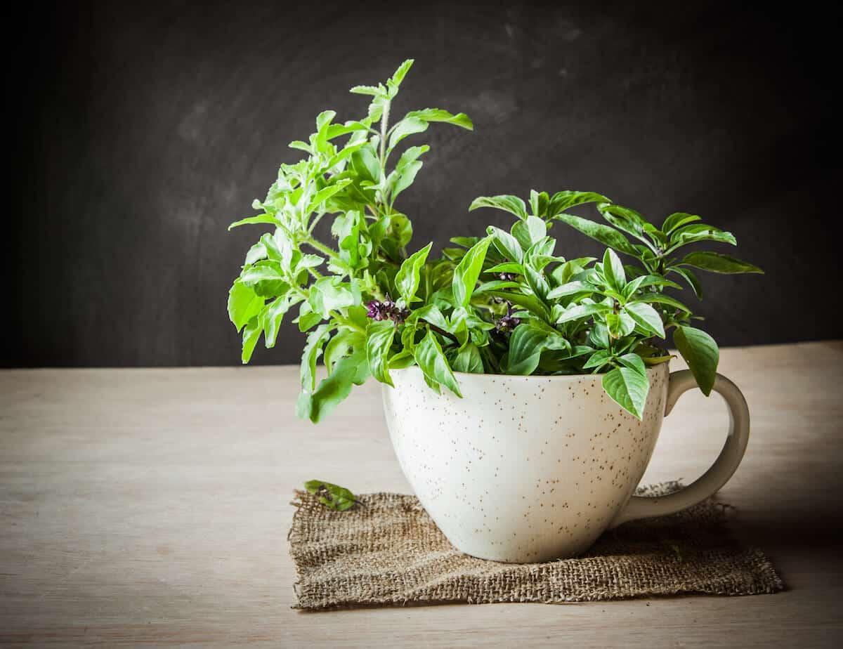 Holy Basil: The Sacred Herb