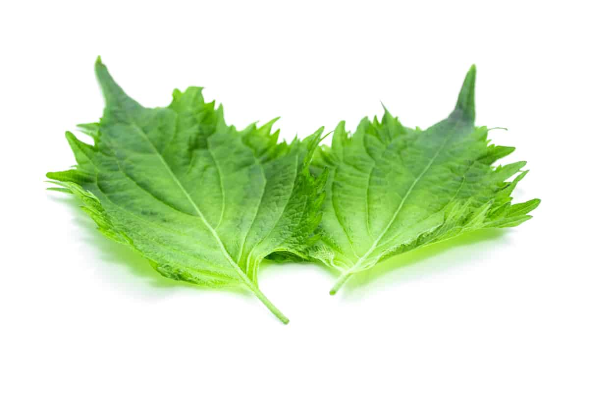 Shiso: An Essential Japanese Herb