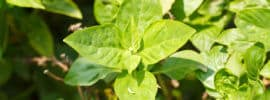 What's a Good Thai Basil Substitute?