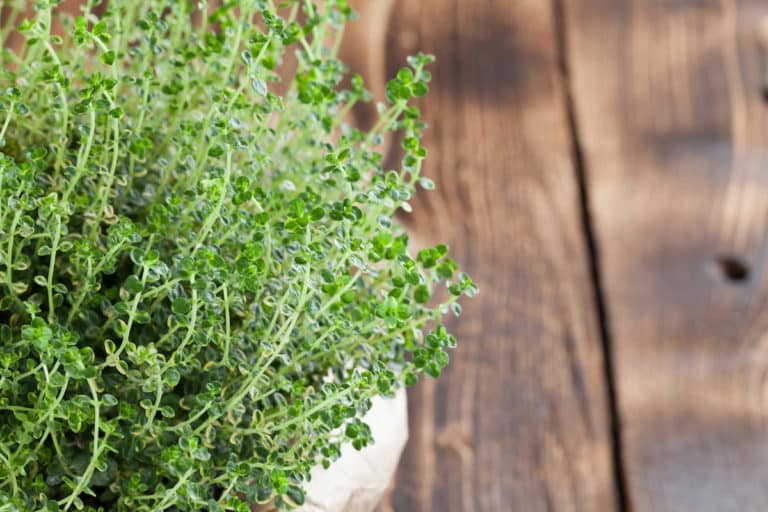 What's A Good Lemon Thyme Substitute? - SPICEography