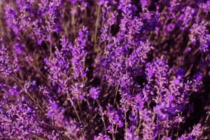 Cooking With Lavender: The Do's And Don'ts