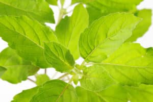 What's A Good Holy Basil Substitute?