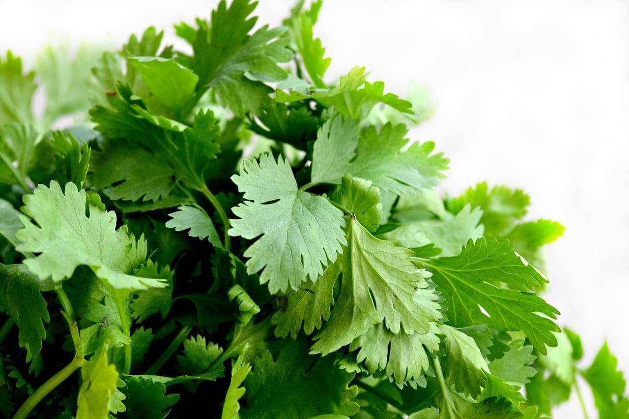 how to store cilantro
