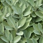 how to store sage