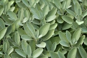 How To Store Sage For The Freshest Flavor