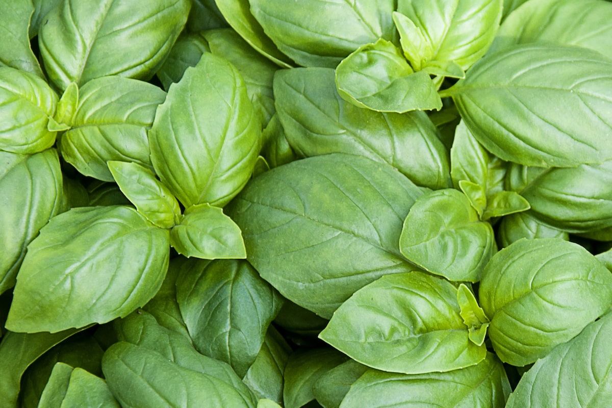 cooking with basil