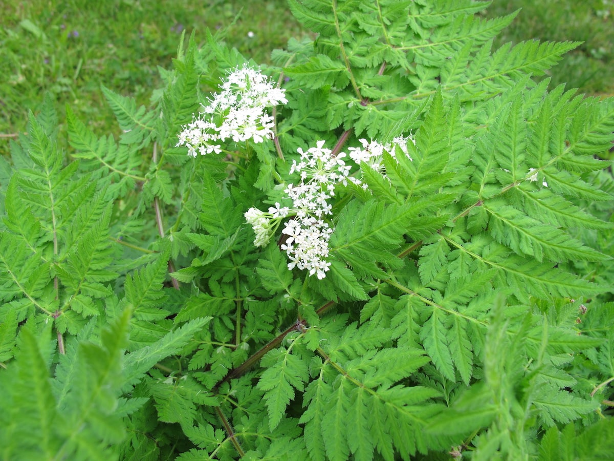 Sweet Cicely: A Rare European Herb