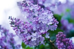 Lilac: A Flower With True Flavor