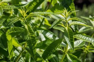 Lemon Verbena: A Lemon-Scented Herb From South America