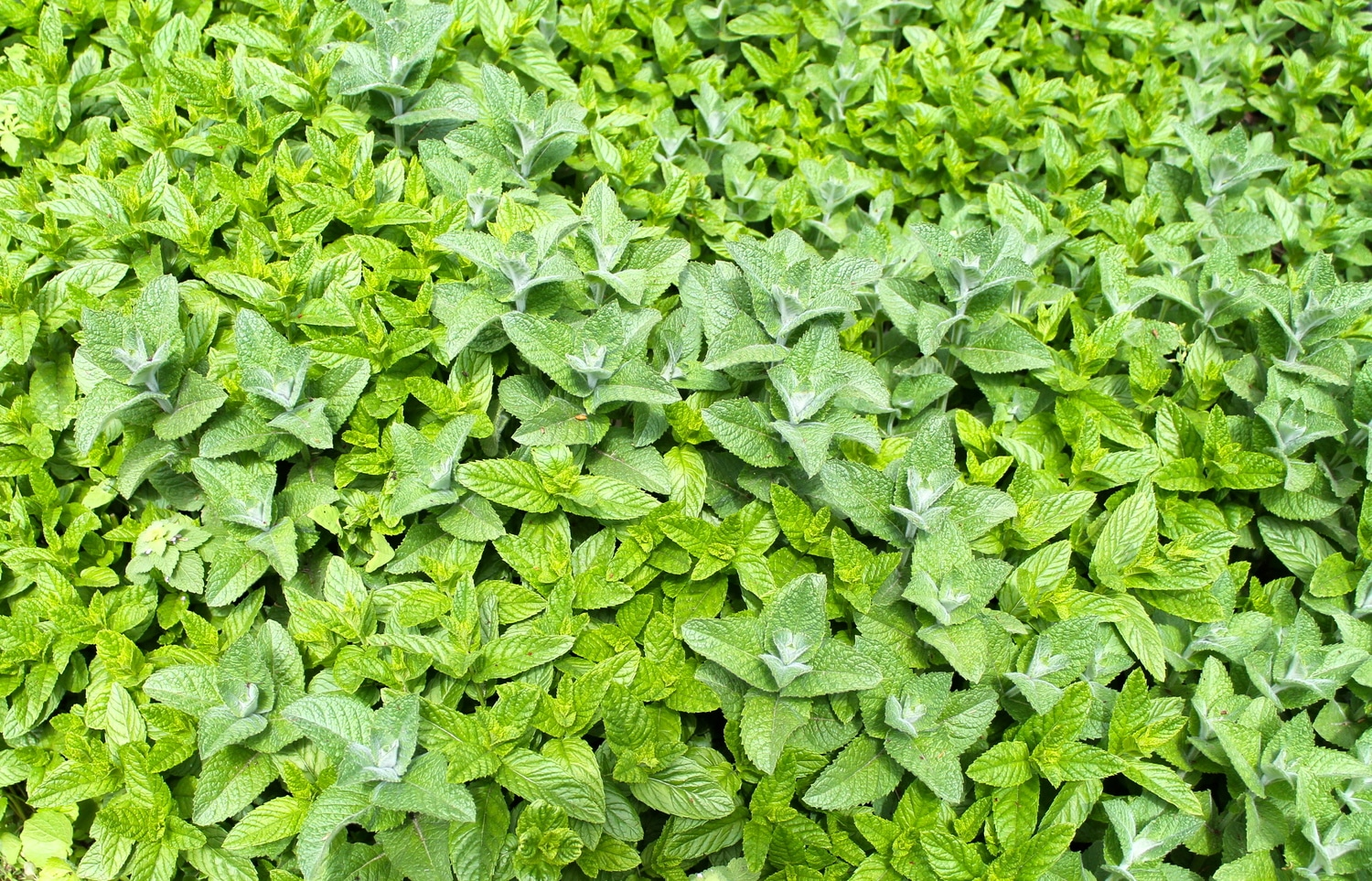 Ginger Mint: The Spicy Hybrid Mint