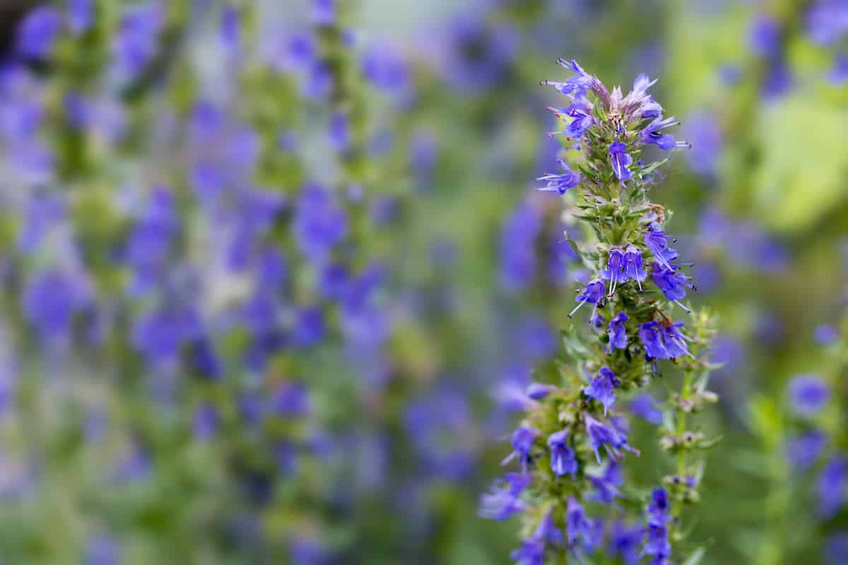 What's A Good Hyssop Substitute?
