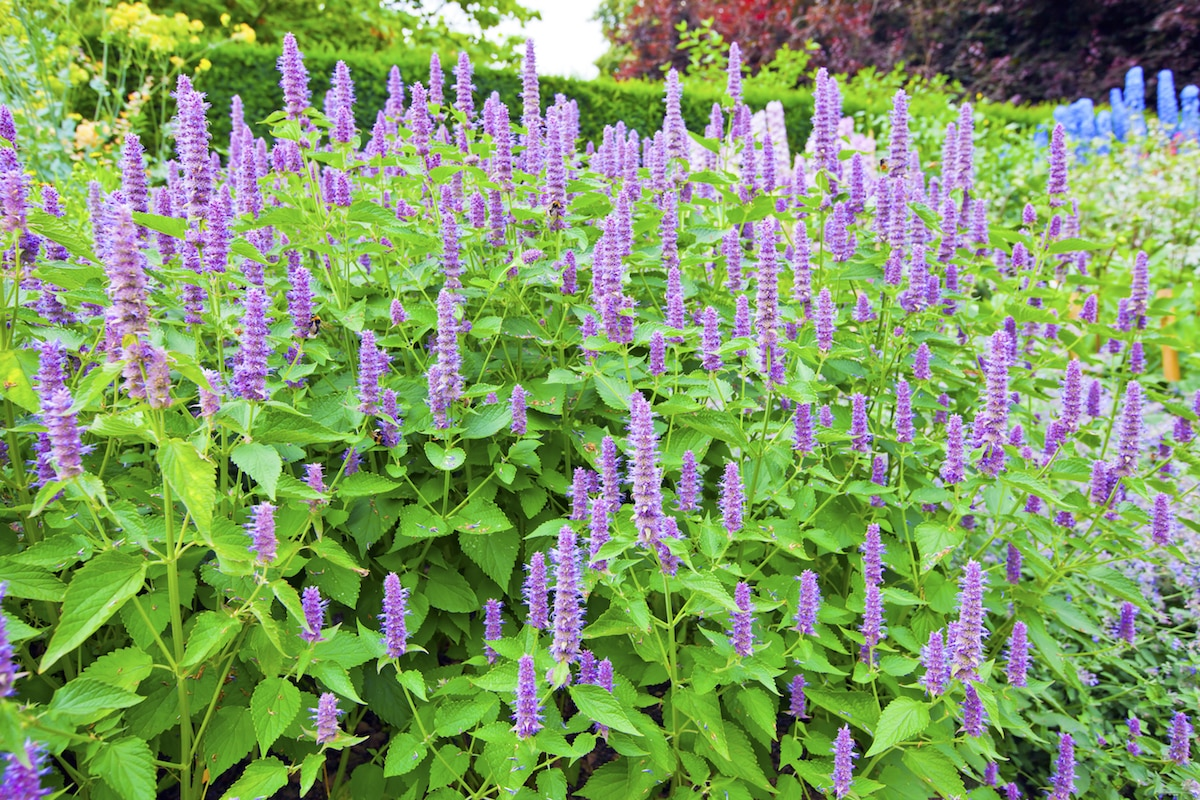Hyssop: The Biblical Cleansing Herb