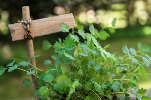 Salad Burnet: The Cucumber Herb
