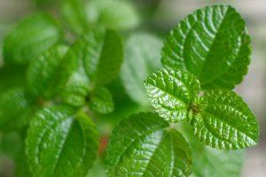 Apple Mint Vs. Peppermint: SPICEography Showdown