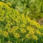 fennel pollen substitute