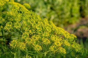 What's A Good Fennel Pollen Substitute?