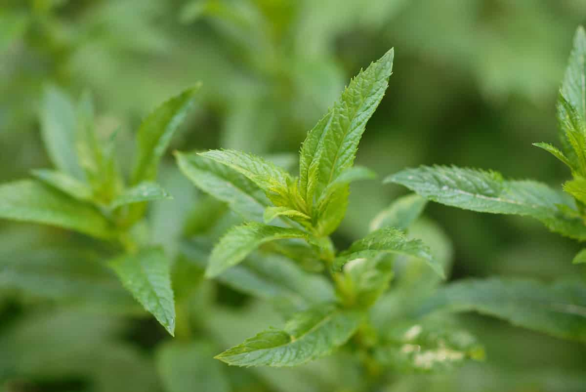 Peppermint: The Spicy Mint