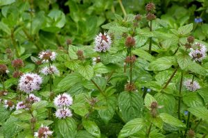 Watermint: The Medicinal Mint
