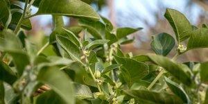 Ashwagandha: The Ultimate Ayurvedic Herbal Tonic