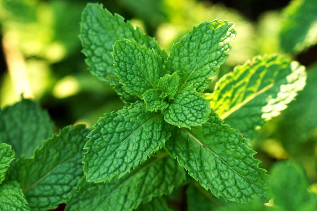 Spearmint vs. peppermint