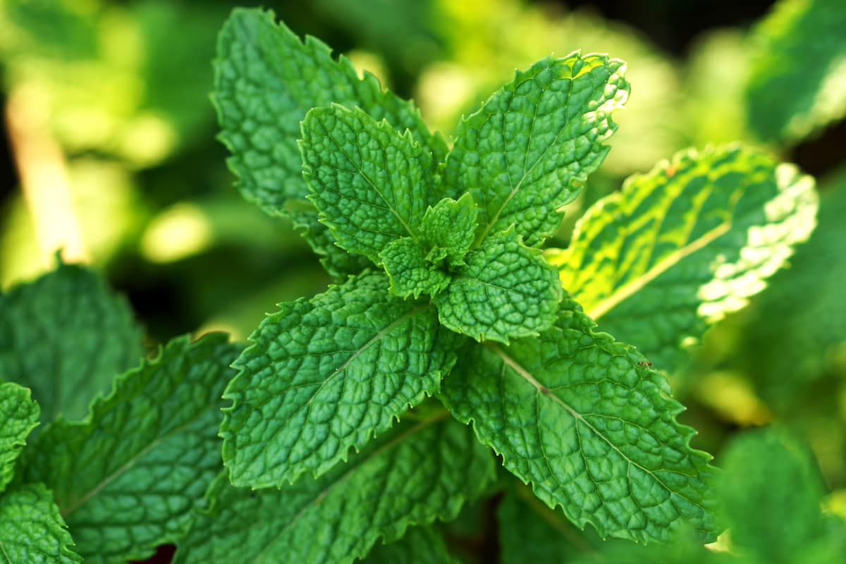 Spearmint Vs. Peppermint: SPICEography Showdown