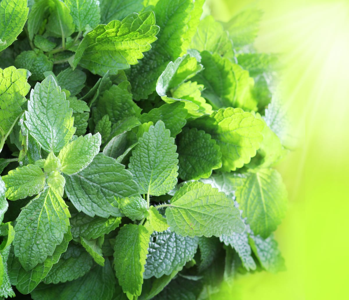 Spearmint: The Oldest Mint