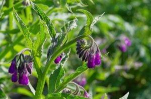 Comfrey: The Healing Herb