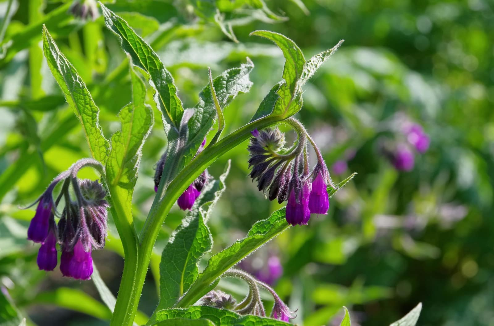 Comfrey: The Healing Herb