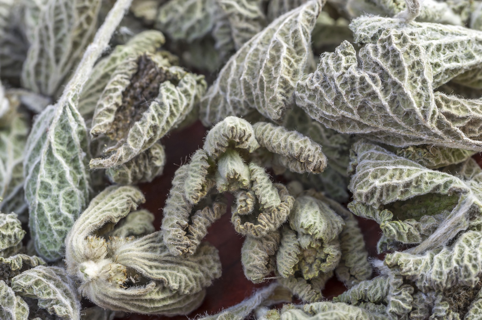 Horehound: A Medicinal Mint For Colds