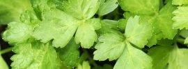 Flat Leaf Vs. Italian Parsley: SPICEography Showdown