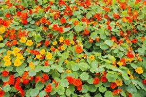 Nasturtium: Much More Than An Edible Flower