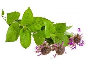 Bergamot: A Native American Herb