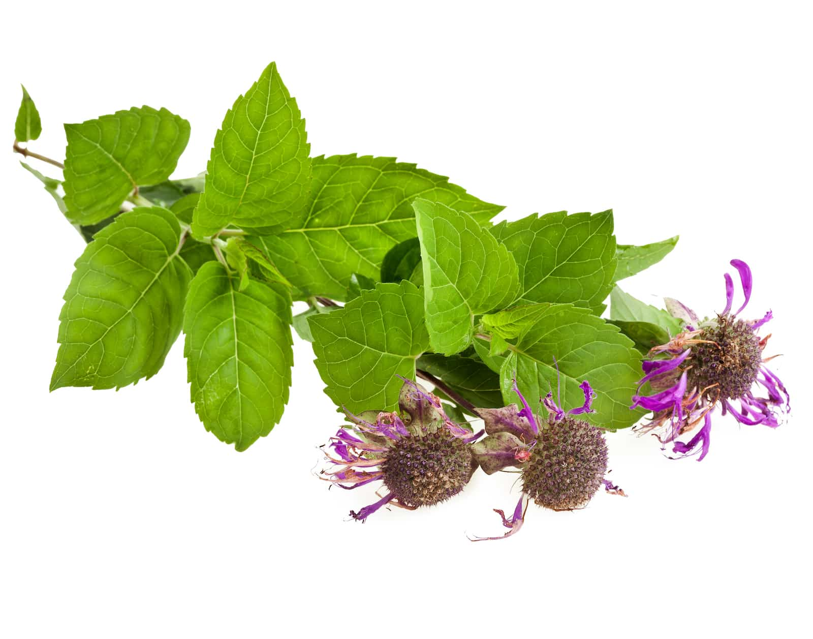 Bergamot: A Native American Herb